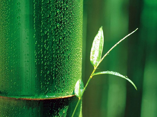 The Noble Bamboo