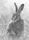 Hare study by Nolan Stacey
