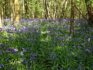 A path through the bluebells, Cuddesdon