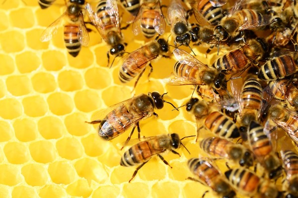 Collaborative Honey Bees
