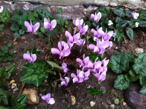 Out of death comes life - tiny cyclamens planted in the graveyard