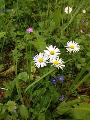 Alton Abbey Daisies 012 blog